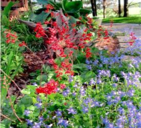 Coral-Forest-Heuchera-and-Campanula-Dalmatian-Bellflower