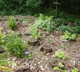 Ferns-scattered-among-the-stumps1