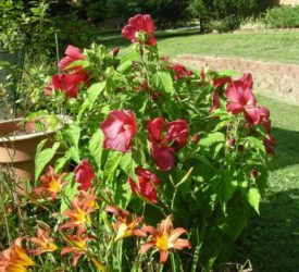 Hibiscus-and-Daylily