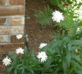 Ice-Star-Shasta-Daisy1