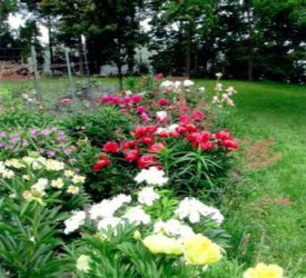 One-of-her-peony-beds