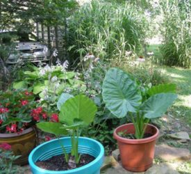 Potted-Elephant-Ears-and-Begonia