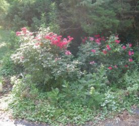 Red-Knockout-Roses