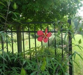 Texas-Star-Hardy-Hibiscus
