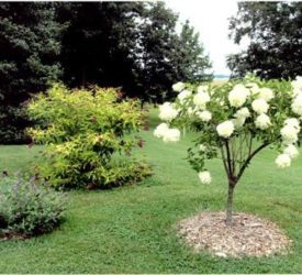 Tree-Hydrangea-with-butterfly-bushes