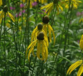 prarie-coneflower